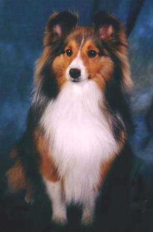 sheltie